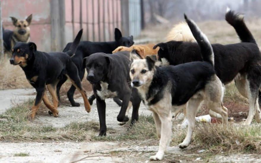 Куче каснало девојка во Охрид  а во меѓувреме отруена е кучка со четири мали кучиња